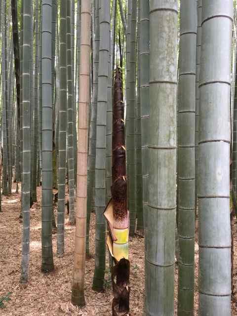 bamboo5
